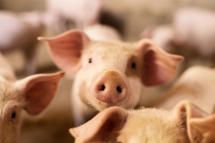 The Importance of Biosecurity to Hog Producers